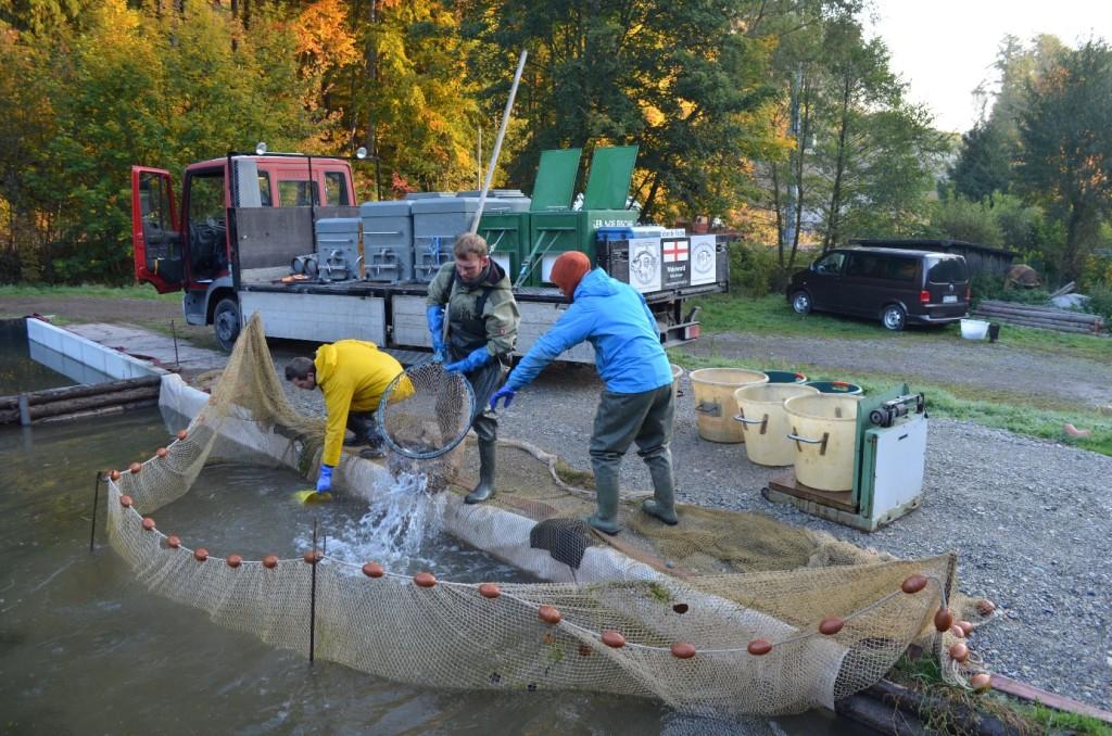 Abbildung 16: Das ist das zusammengezogene Hälternetz, in dem unsere knapp 500 kg normalen K2 Spiegler und Schuppis schwammen zusammen mit den Beautys aus der Abfischung vom Vortag