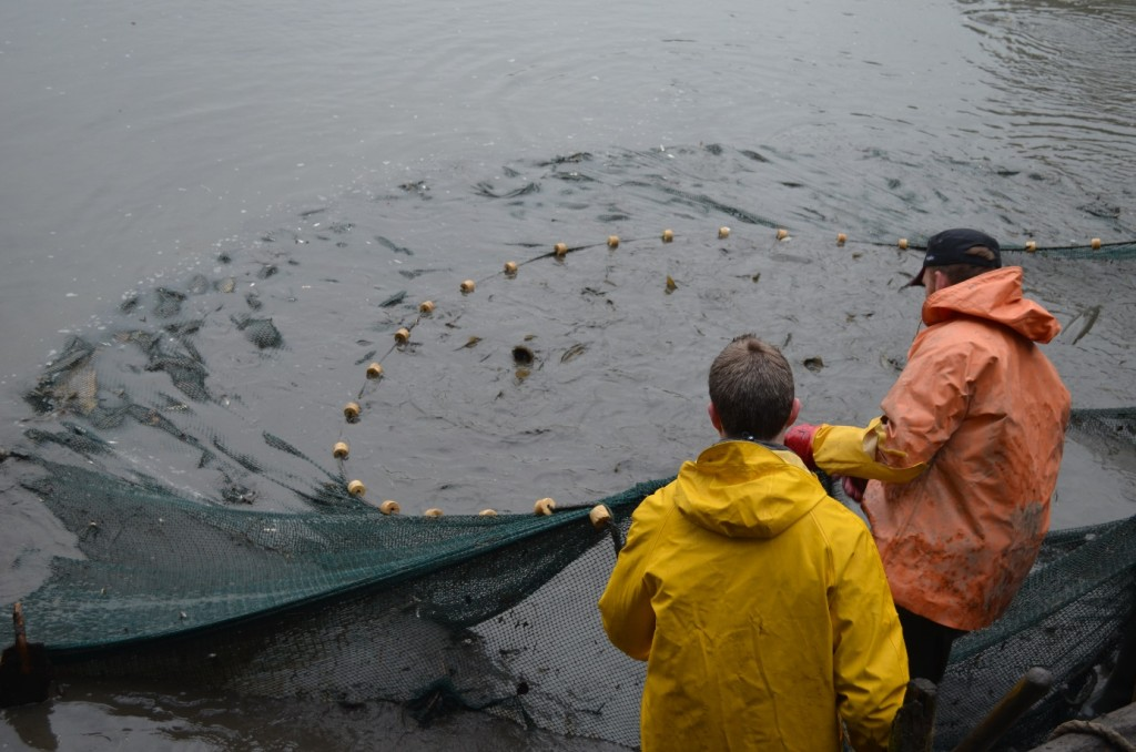 Abbildung 2: Das Netz voller Fisch nach dem ersten Zug durch den Teich