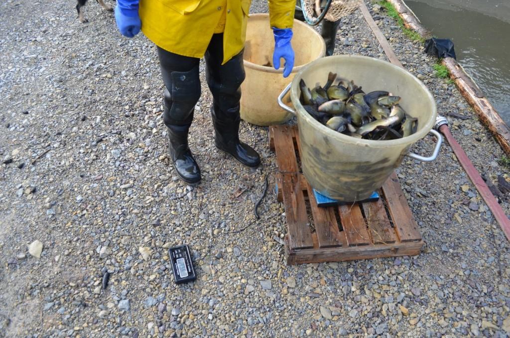Abbildung 25: So eine Tragewanne fasst gut 50 kg Schleien! Die darauf warten auf den LKW geladen zu werden