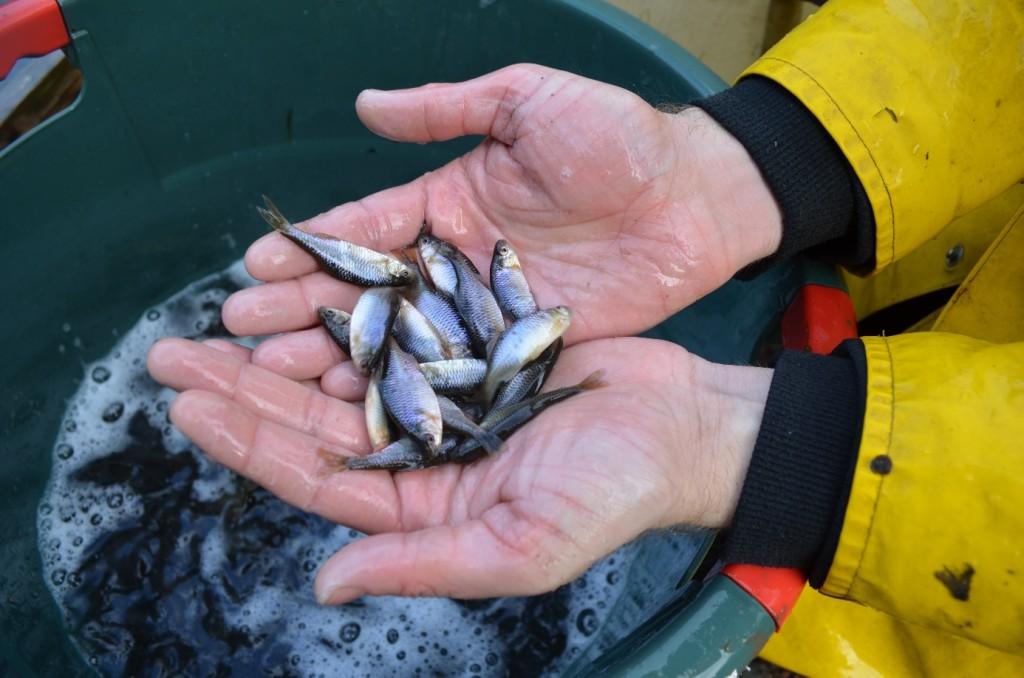 """Abbildung 27: Ebenfalls eine in manchen Gebieten vom Aussterben bedrohte Kleinfischart und ganzjährig durch das niedersächsische Fischereigesetz (§2 (1) Nds. FischG) geschont - der Bitterling. In der Roten Liste Deutschland gilt der Bitterling als """"stark gefährdet"""", denn der Fischereiverein Meckelfeld Glüsingen ist ein anerkannter Naturschutzverein. Durch das starke Teichmuschelvorkommen in unseren Nindorfer Teichen, hoffen wir darauf, diese Fischart dort dauerhaft zu etablieren"""