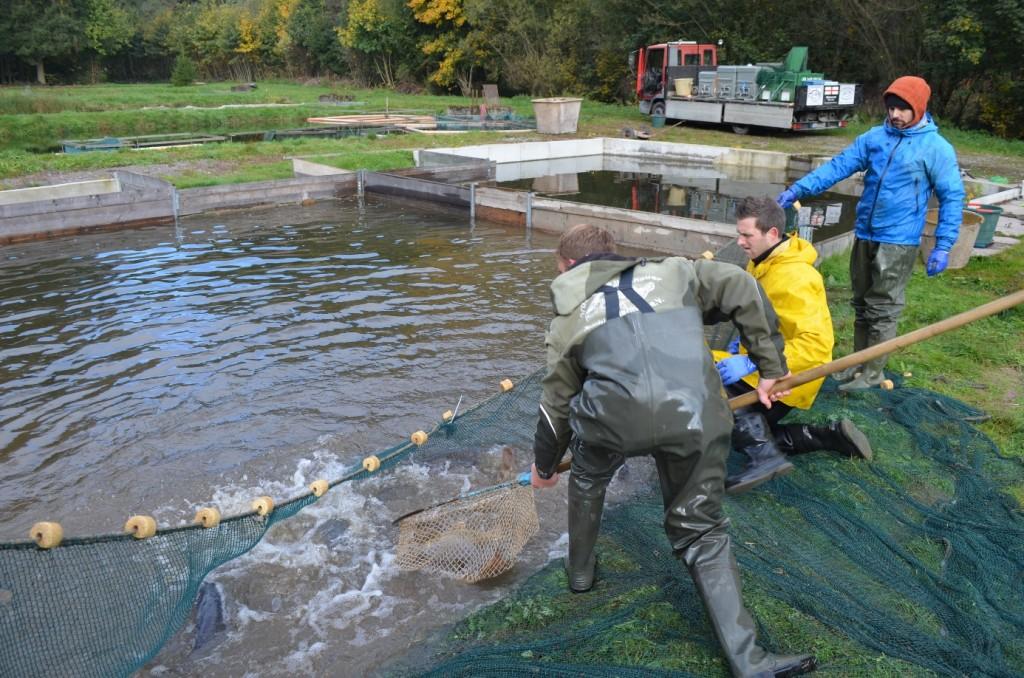 Abbildung 28: Kurz vor der Abfahrt mit dem LKW in der Hälteranlage mit dem Zugnetz um die letzten Fische für die Bestellung zusammen zu bekommen. Hier der Fang der noch fehlenden drei Laichkarpfen