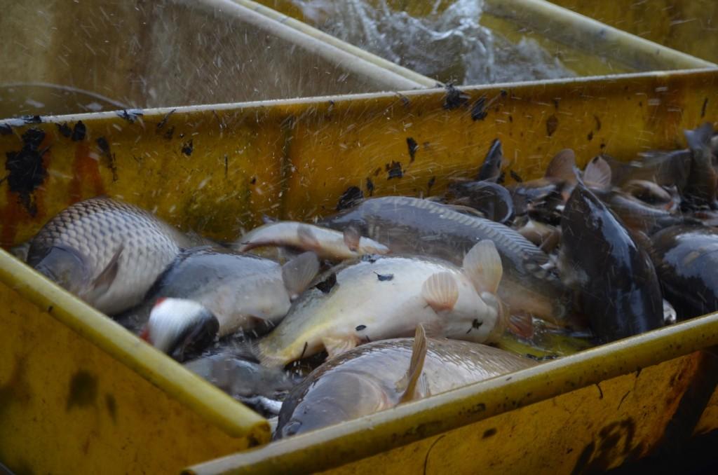 Abbildung 4: Das Sortieren der Fische nach Arten und Größen beginnt – da heißt es schnell und sicher zugreifen