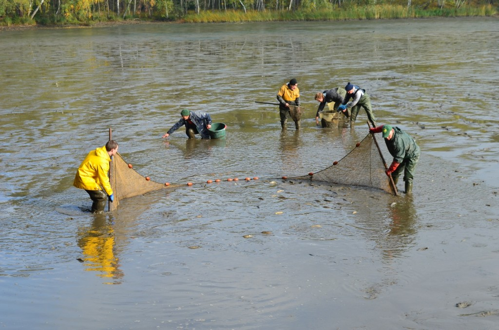 Abbildung 7: Der vorerst letzte Netzzug. Alle noch verbleibenden Fische werden am Ablauf abgekeschert, sodass möglichst wenige mit runter in den nächsten Teich schwimmen. Im Hintergrund werden Fische gerettet, welche im Schlamm stecken geblieben sind und nicht schnell genug mit dem Wasser mit kamen (vor allem Rotaugen und kleine Barsche)